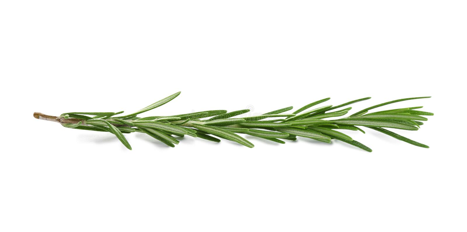 Fresh green rosemary isolated. Aromatic herb royalty free stock images
