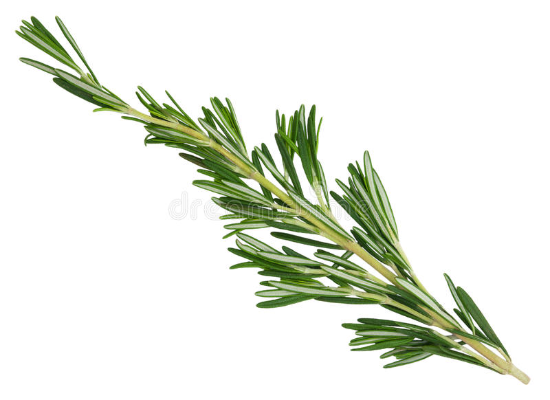 Fresh green rosemary sprig. royalty free stock photography