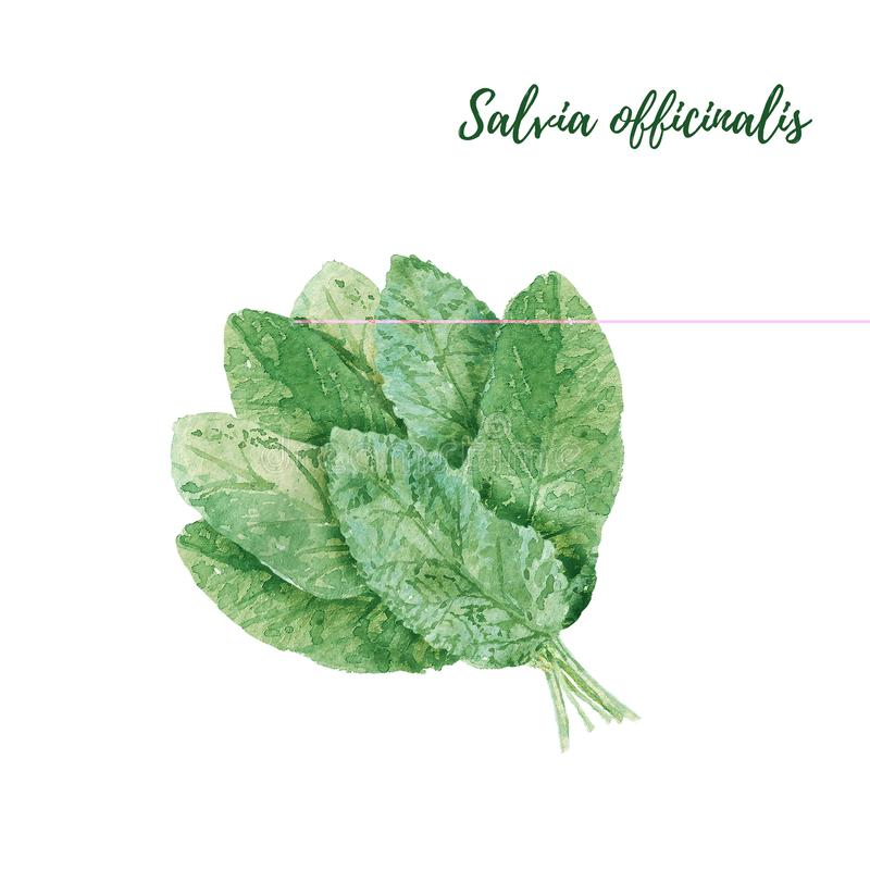 Salvia officinalis or garden sage. Sage leaves bunch close up isolated on white background. Watercolor illustration. Fresh green sage leaves bunch close up royalty free illustration