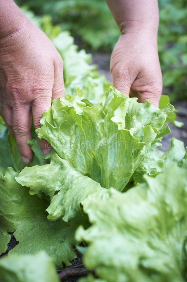 Download Fresh green salad stock image. Image of agriculture, hands - 19610093