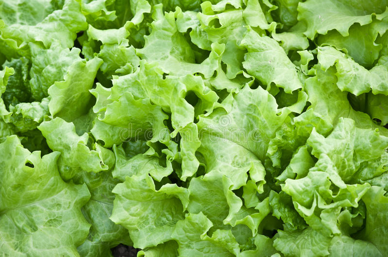 Fresh green salad. Fresh green growing leaf salad stock image