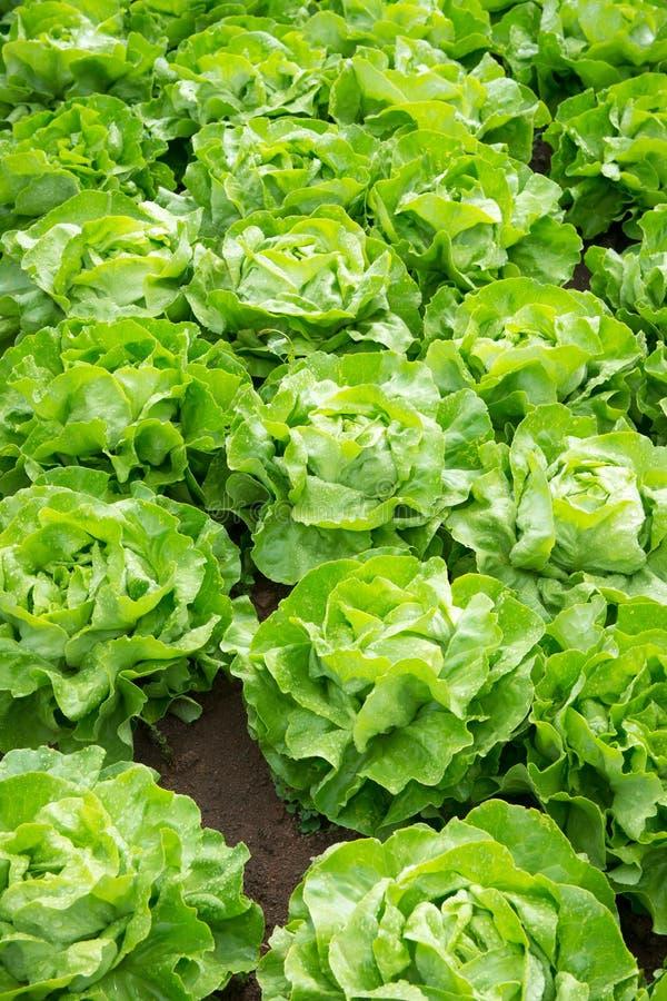 Fresh green salad lettuce stock photos