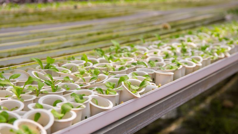 Fresh green seedling in white pots. Growing plant from seed. Flower sapling in plastic pot. royalty free stock image