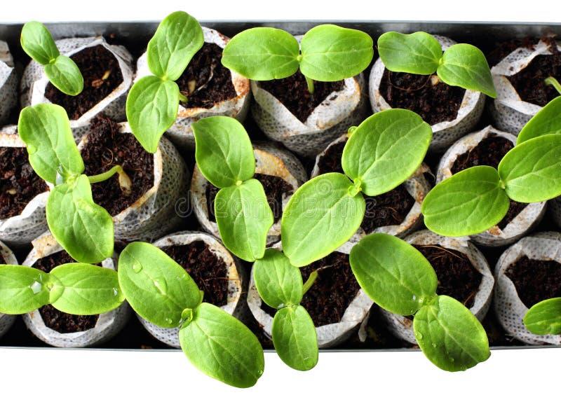 Fresh green seedlings stock photography