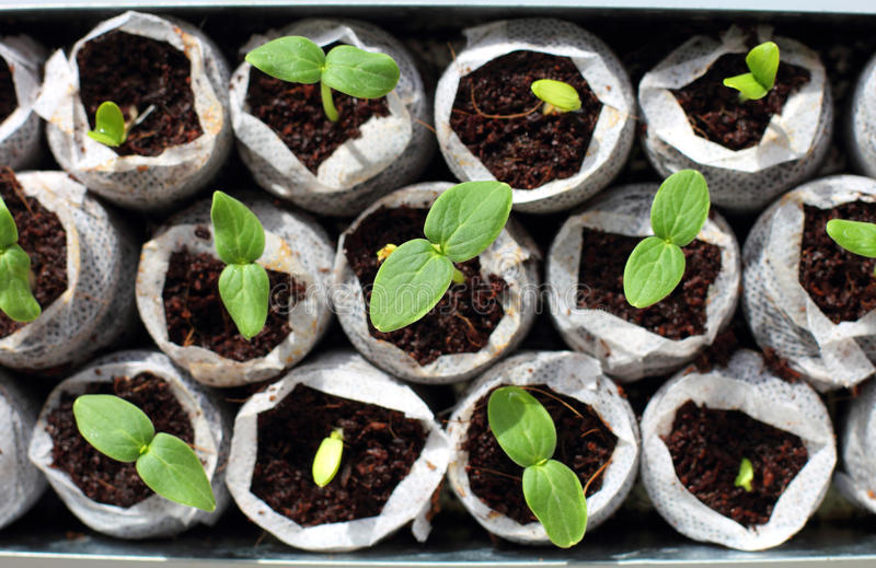 Fresh green seedlings royalty free stock photo