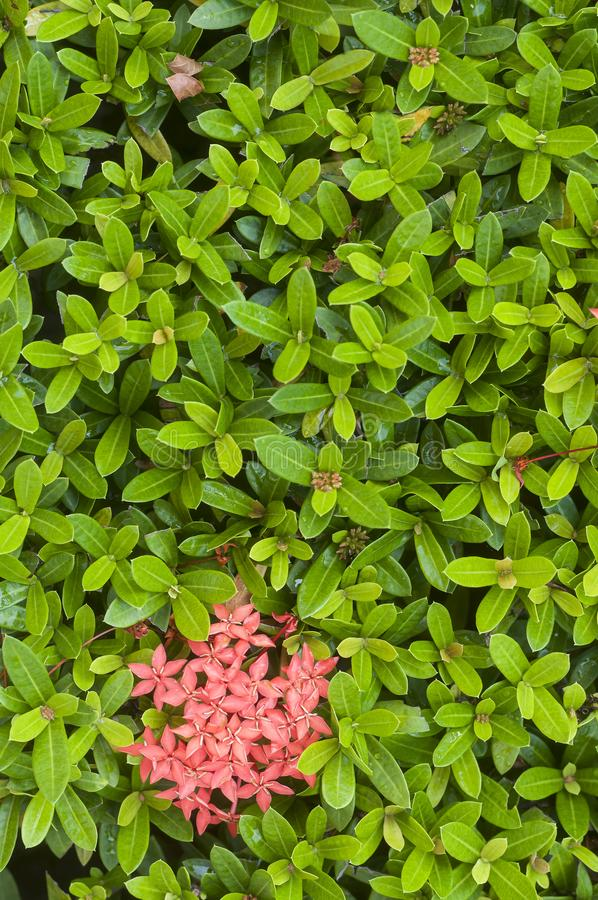 Fresh green small leaves of a tropical plant with pink flowers stock download fresh green small leaves of a tropical plant with pink flowers stock photo image mightylinksfo