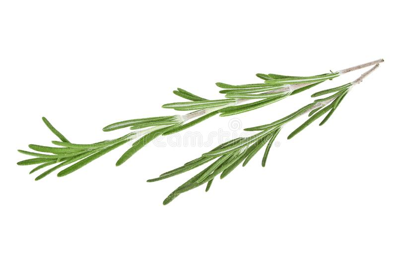 Fresh green sprig of rosemary isolated on white background. Fresh green sprig of rosemary isolated on a white background royalty free stock images