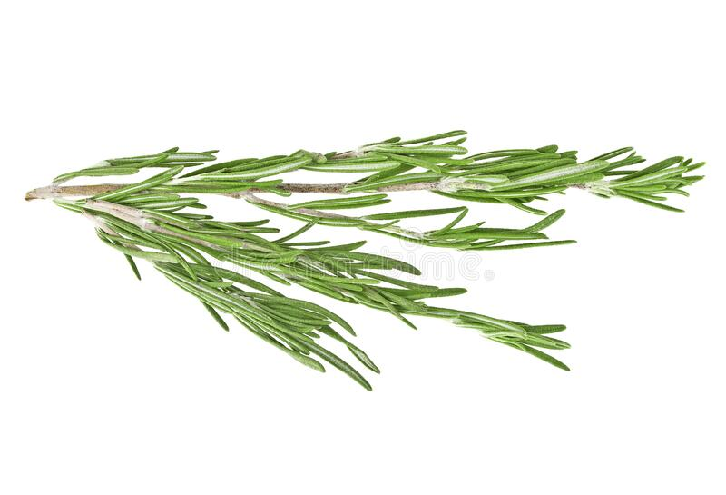 Fresh green sprig of rosemary isolated on white background. Fresh green sprig of rosemary isolated on a white background stock image