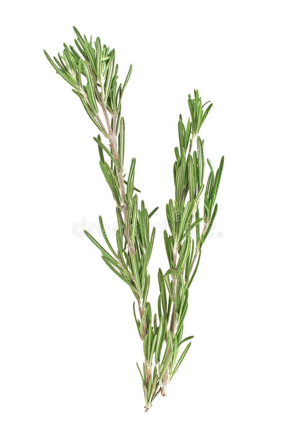Fresh green sprig of rosemary isolated on white background. Fresh green sprig of rosemary isolated on a white background royalty free stock photo