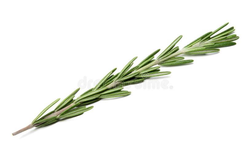 Fresh green sprig of rosemary on a white isolated background. Close-up. stock image