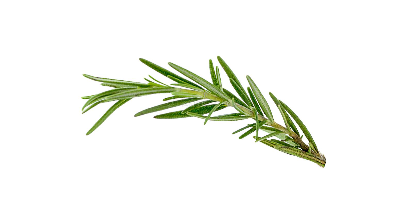 Fresh green sprigs of rosemary isolated on a white background stock image