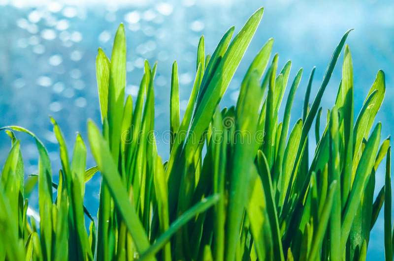 Fresh green spring grass blades. With water drops on bright background royalty free stock images