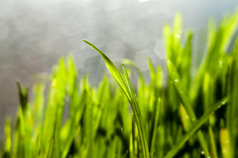 Fresh green spring grass blades. With water drops on bright background stock image