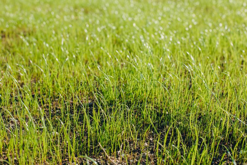 Fresh green spring grass with dew drops closeup with sun on natural defocused light nature bokeh background. Lawn grass sprouting, sowing crops and grains royalty free stock images