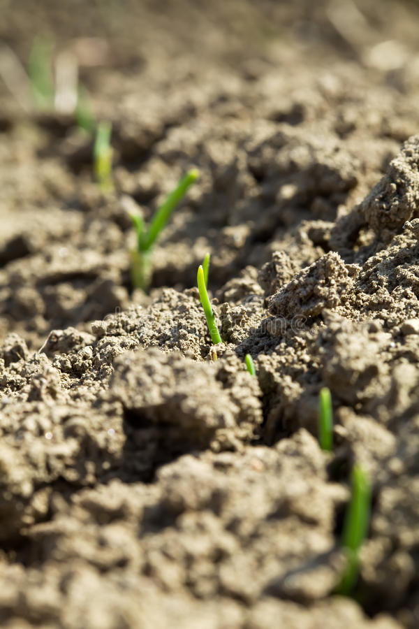 Download Fresh Green Sprouts Emerging From The Ground Stock Image - Image: 14857711