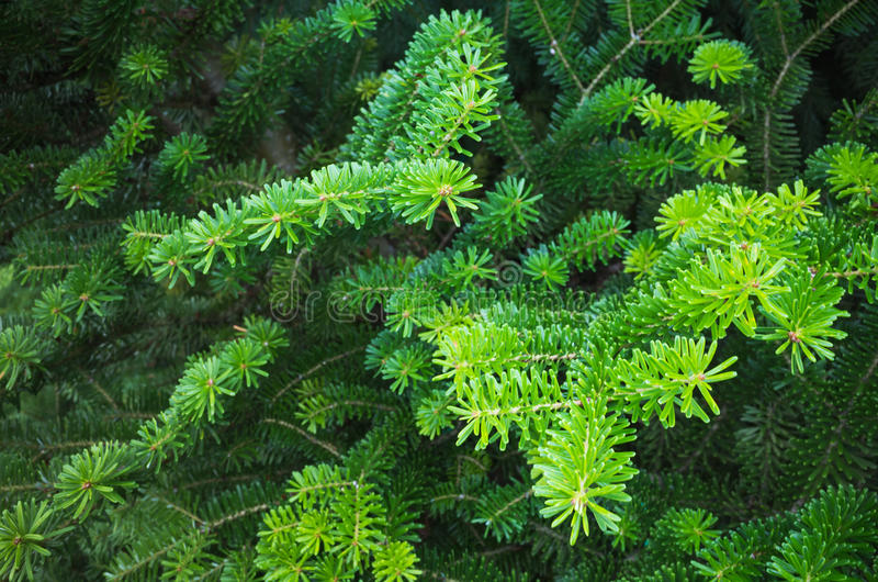 Fresh green spruce branches, macro photo royalty free stock images