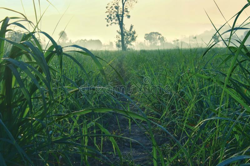 Fresh green of sugarcane farm with mountain landscape and fog in the early morning stock photography