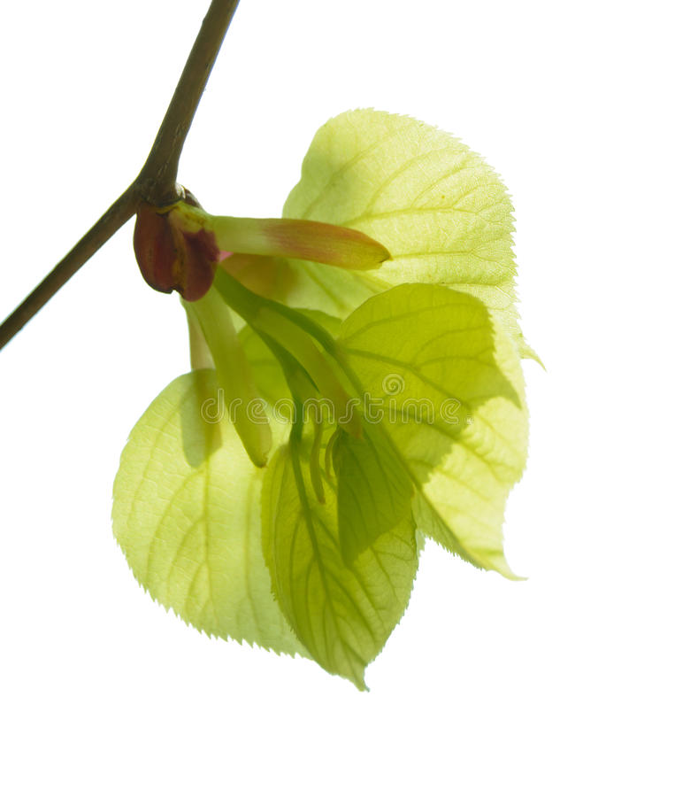 Fresh Green Summer Leaves Isolated on White Background. Fresh Green Summer Leaves Isolated on the White Background royalty free stock photos