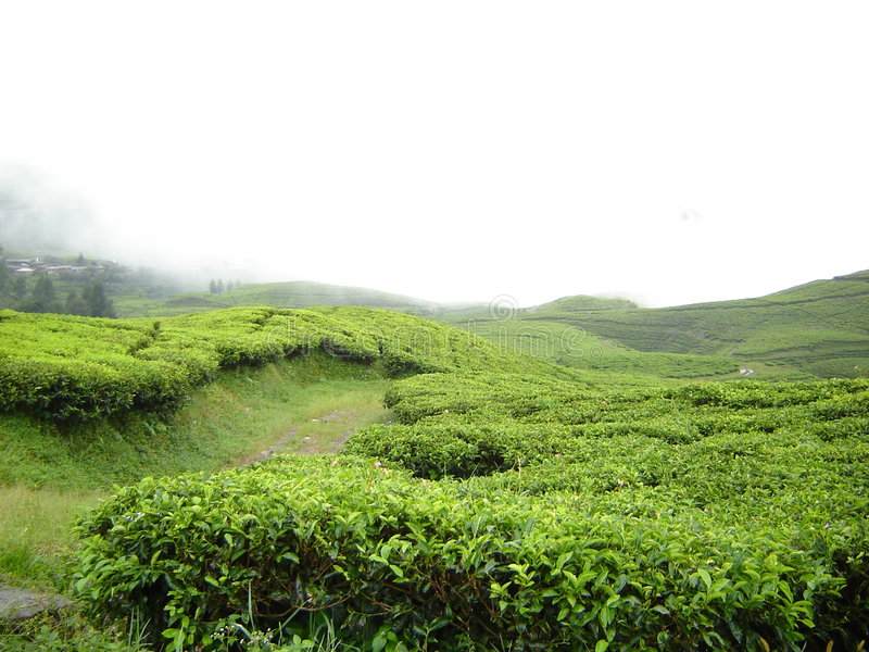Fresh, green, tea garden royalty free stock image