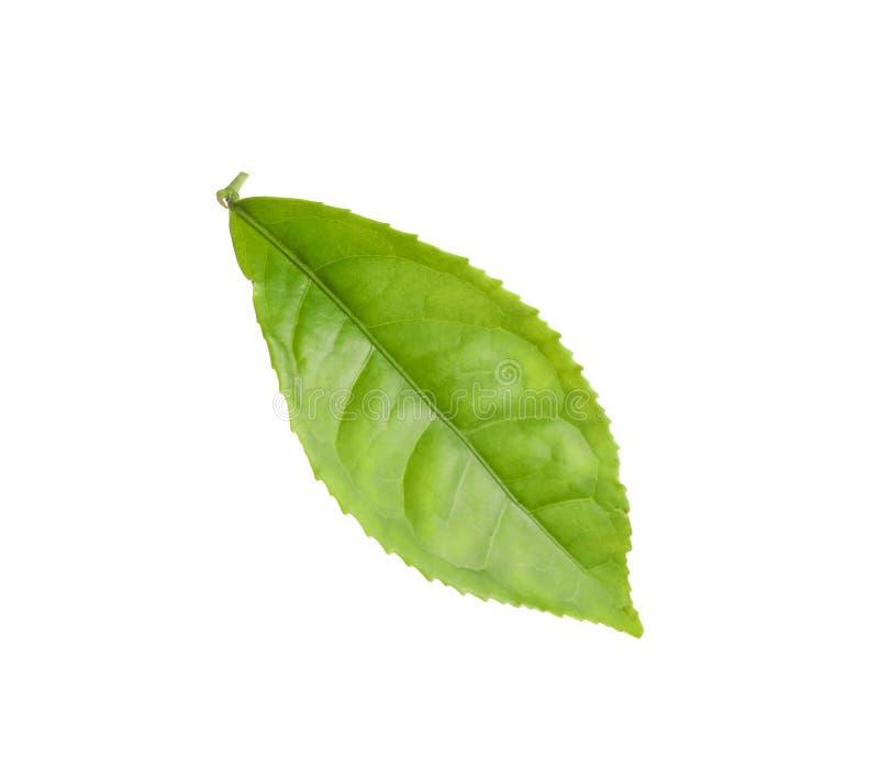 Fresh green tea leaf isolated. On white royalty free stock photos