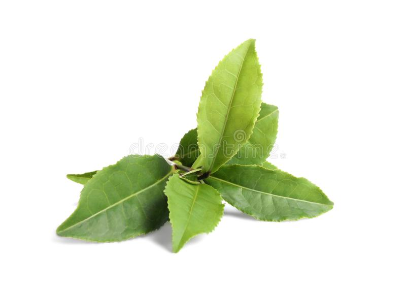 Fresh green tea leaves isolated. On white royalty free stock photography