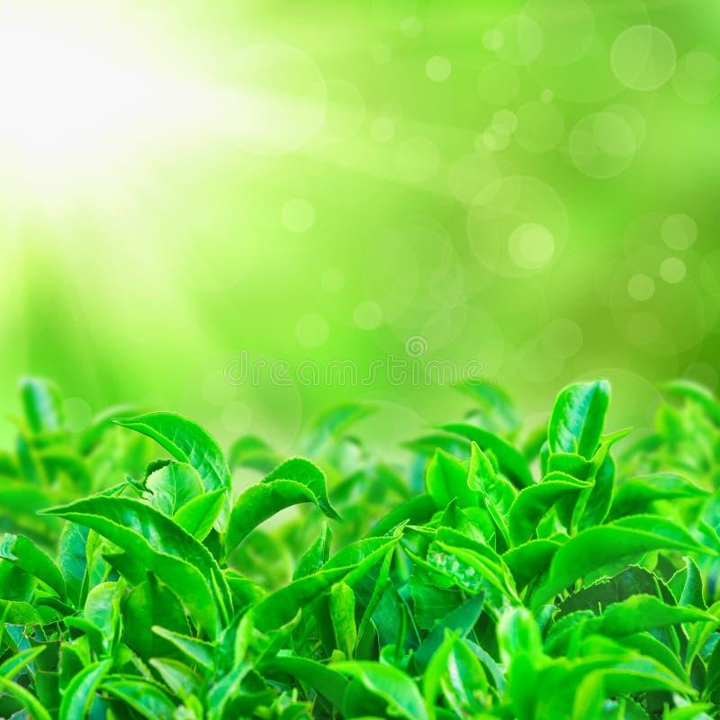 Fresh green tea leaves with sun beams stock image