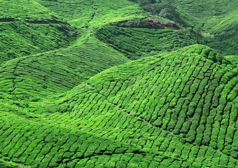 Fresh green tea plantation. Perspective stock photo