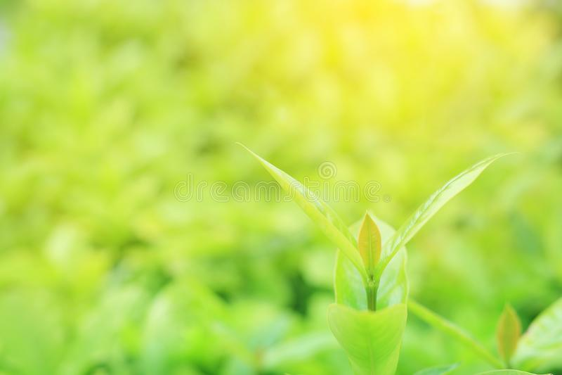 Fresh green tree leaf on blurred background in the summer garden with copy space and clean pattern. Close-up nature leaves in. Field for use in web design or royalty free stock images