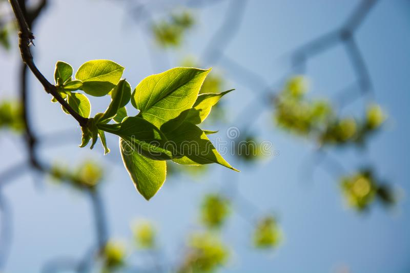 Fresh green tree leaves backlit by the sun, blue sky in the background royalty free stock images
