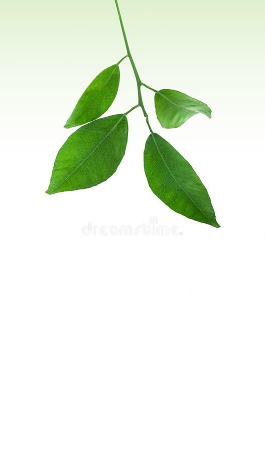 Fresh Green Tree Leaves stock image