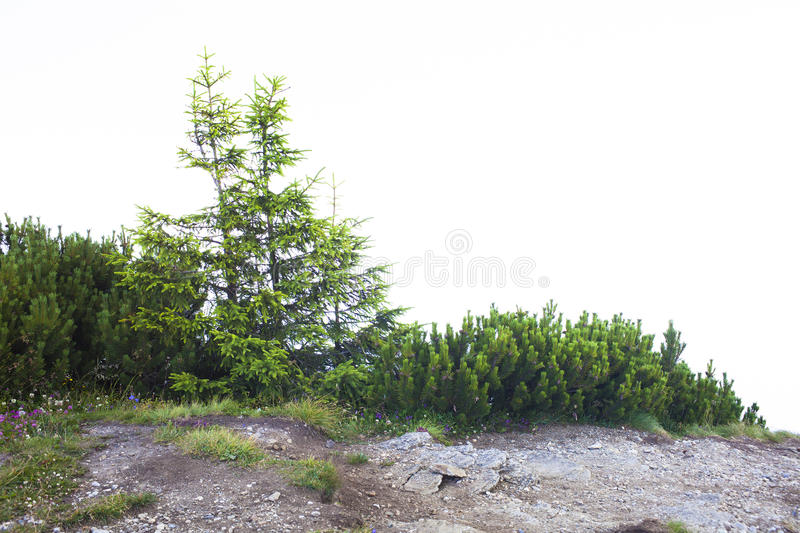 Fresh green trees and juniper isolated on white stock photo