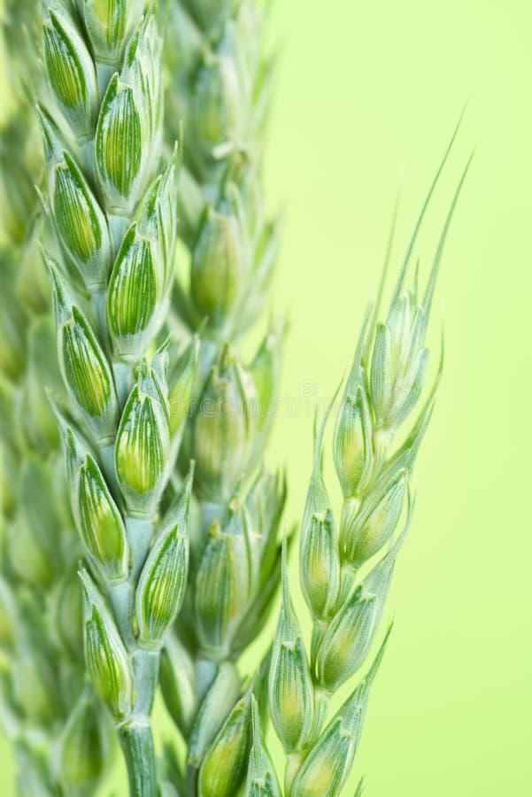 Fresh Green wheat royalty free stock photography