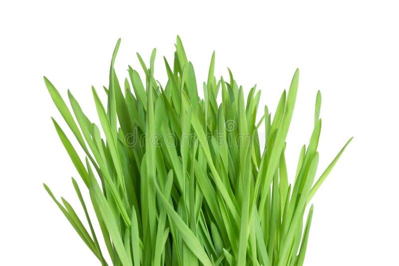 Fresh green wheatgrass. Closeup of fresh green wheatgrass on white background royalty free stock photo