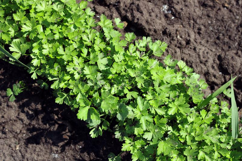 Fresh greens close-up on the background of the soil stock image