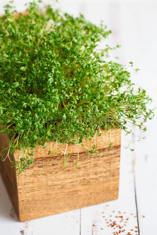Free Fresh Greens. Growing Sprouts. Close-up Of Watercress Salad Microgreens In The Wooden Box. Sprouting Microgreens. Seed Germination Stock Photos - 171063393