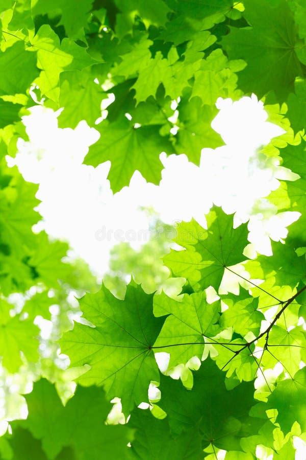 Fresh Grenn Maple Leaves.