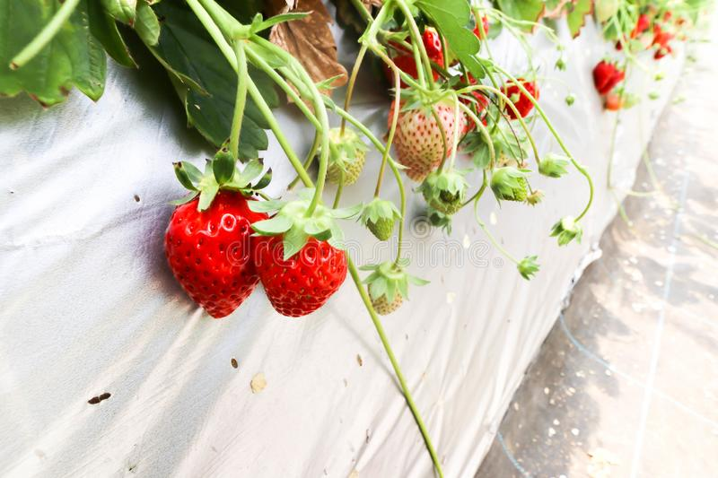 Fresh of group red strawberry in Strawberry Farm ,Chiba stock image