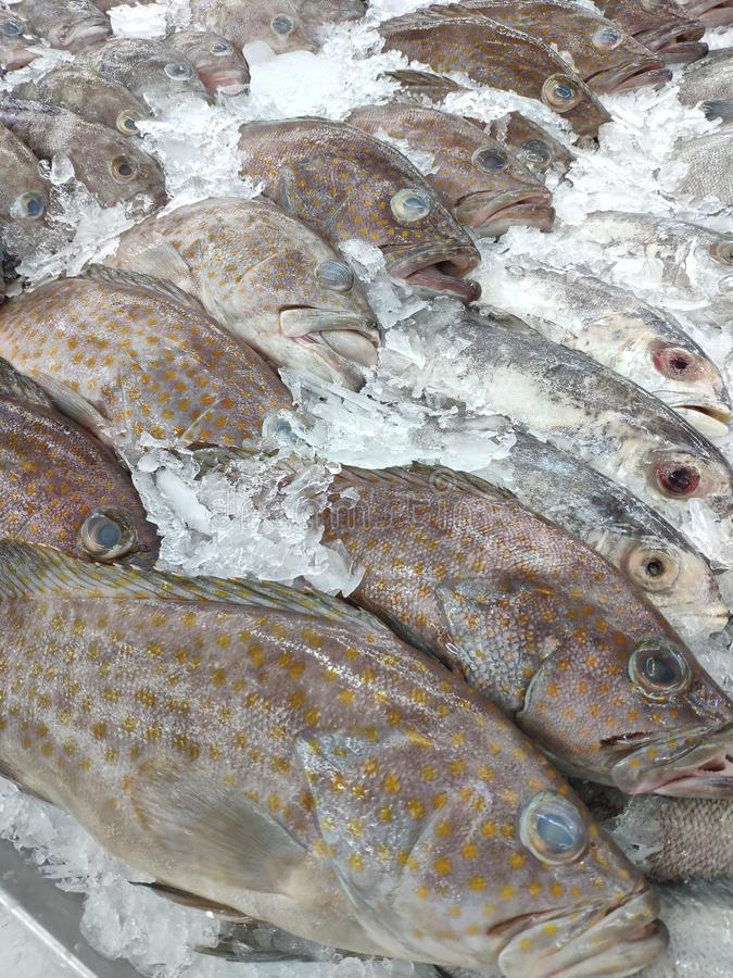 Fresh Grouper Fish in market. Fresh Grouper Fish on ice in the market for cooking stock photography