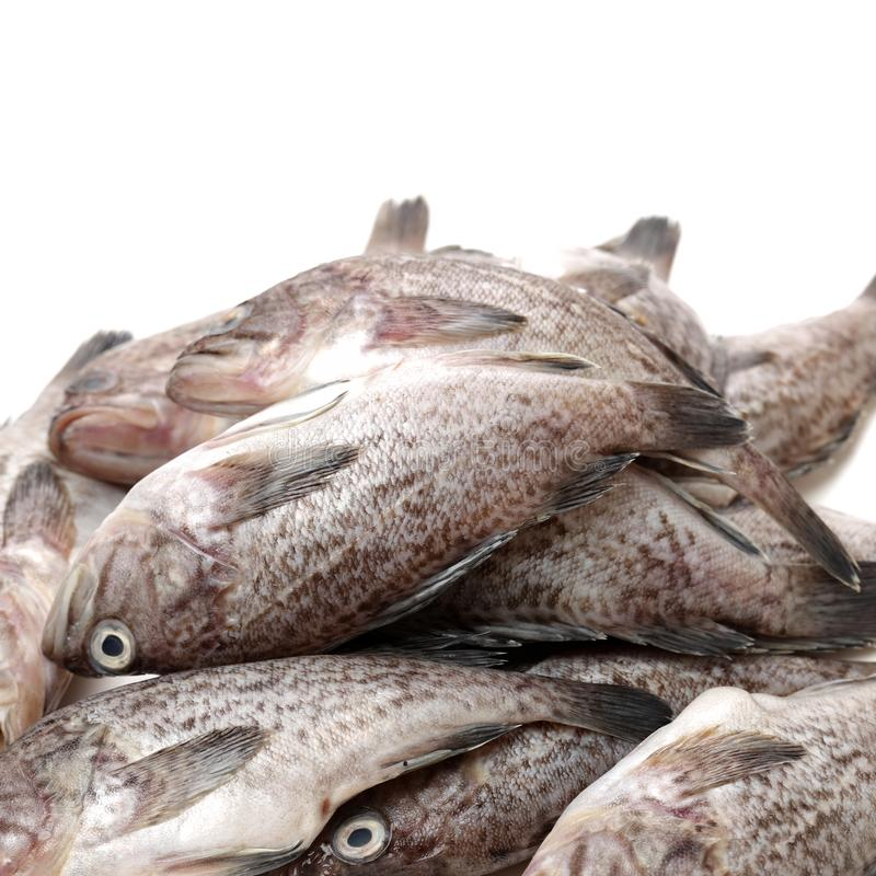 Fresh Grouper. Isolated on white Background royalty free stock photo