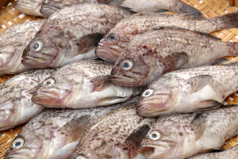 Fresh Grouper. Isolated on white background stock photography