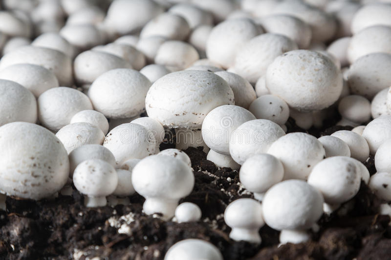 Fresh growing chanpignons on a production. Fresh champignons growing on a special soil on a mushroom production plant. Food production stock photos
