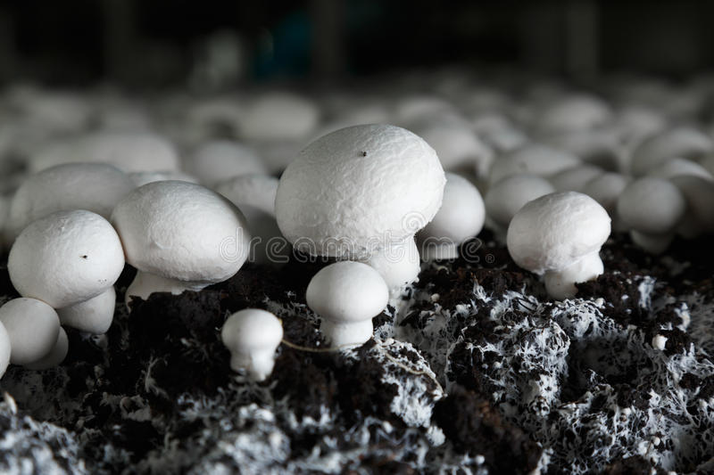 Fresh growing chanpignons on a production. Fresh champignons growing on a special soil on a mushroom production plant. Food production stock images