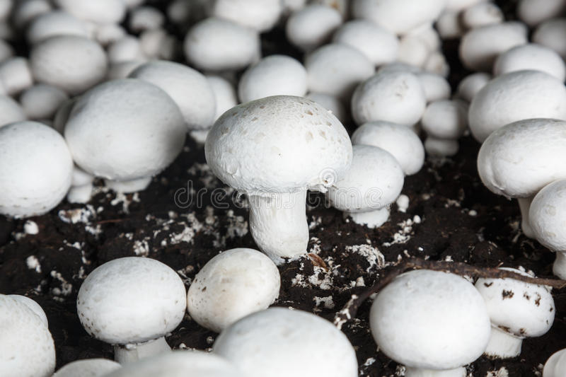 Fresh growing chanpignons on a production. Fresh champignons growing on a special soil on a mushroom production plant. Food production royalty free stock photography