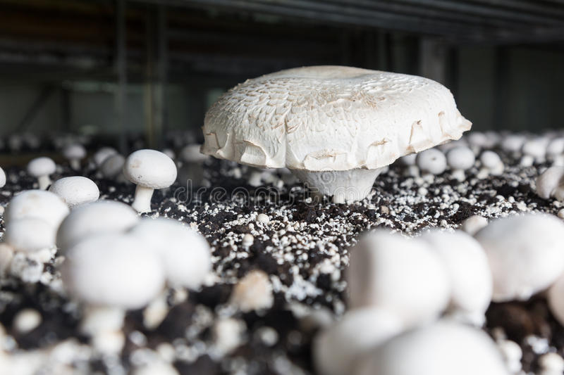 Fresh growing chanpignons on a production. Giant champignon growing on a special soil on a mushroom production plant. Food production stock images