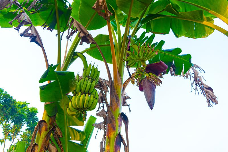 Fresh growing small bananas with banana inflorescence or flower hanging in a banana farm royalty free stock photo
