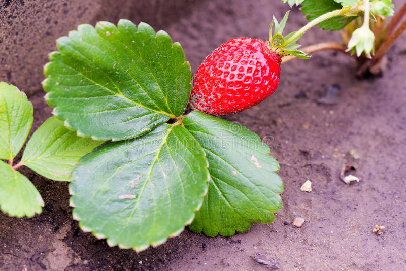Fresh growing strawberry close up royalty free stock photo