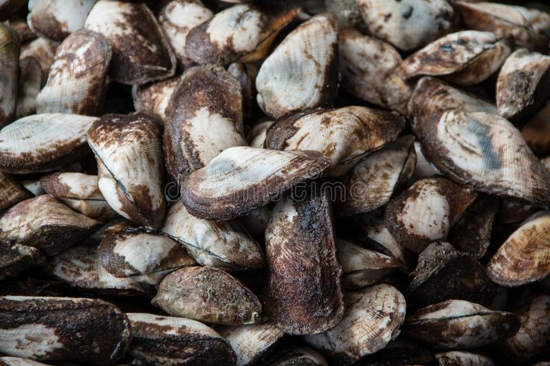 Fresh half propellor ark Trisidos semitorta shellfish at seafood market. stock photo