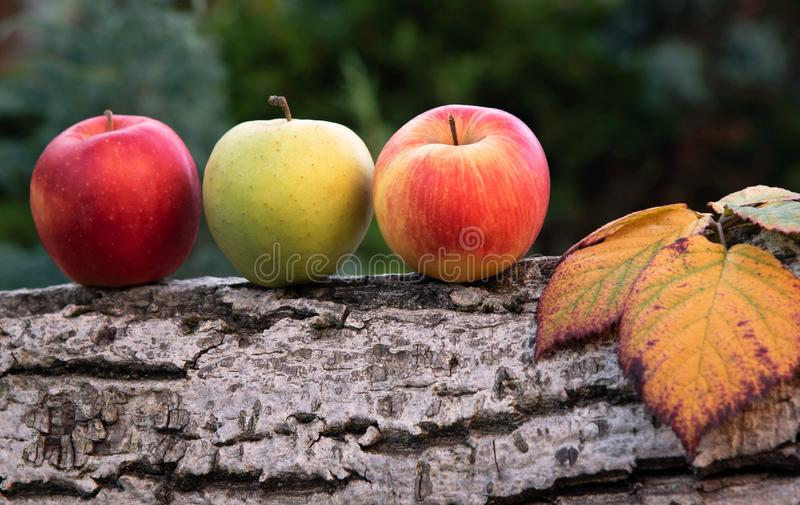 Fresh harvest of apples. Harvested apples, autumn background . Nature fruit concept stock photo