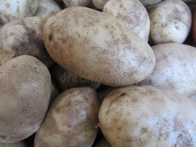 Fresh harvest of natural potatoes close-up. royalty free stock photos