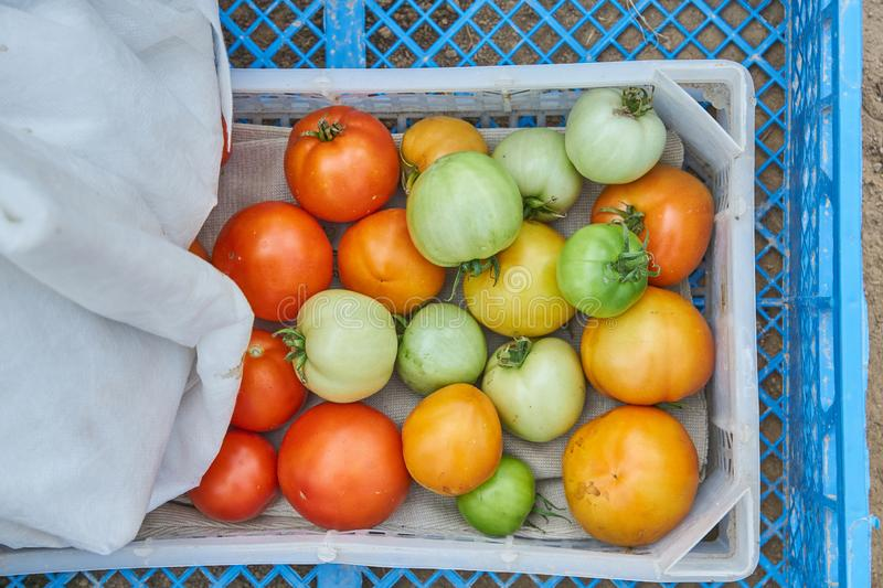 Fresh harvest of organic tomatoes in a box. New crop of tasty vegetables just picked in a plastic container royalty free stock photos